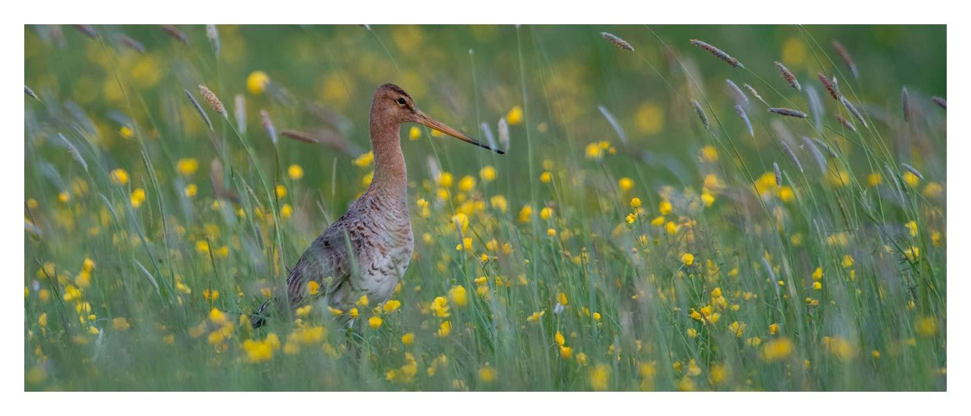 Eiderstedter Forum - Jahresprojekt Wiesenvogelkampagne